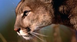 3 millió hegyi oroszlán talált gazdára mindössze 4 nap alatt